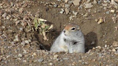grondeekhoorn
