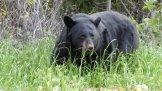 zwarte beer in Kenai Fjords